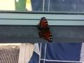 Einer von dutzenden Schmetterlingen die ins Haus flattern